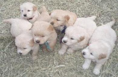 Goldendoodle Puppies on F1 Goldendoodle Puppies For Sale Goldendoodle Puppies In South
